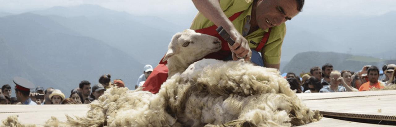 Фестиваль стрижки овец